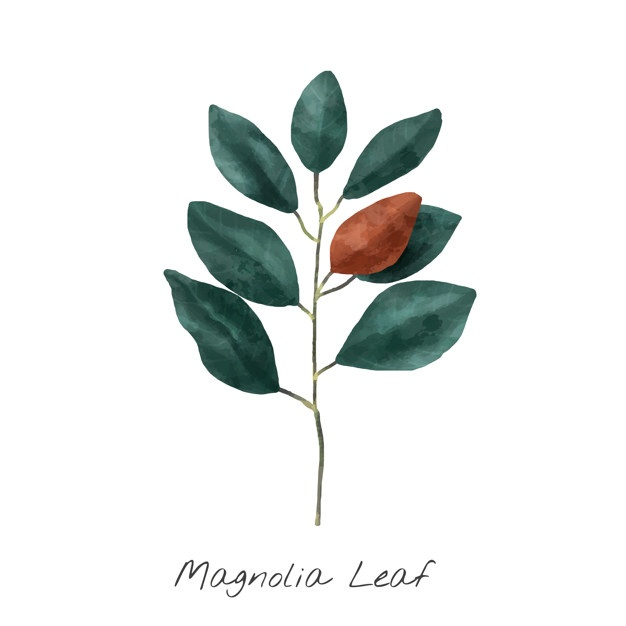 626x626 Magnolia Vectors, Photos And Psd Files Free Download