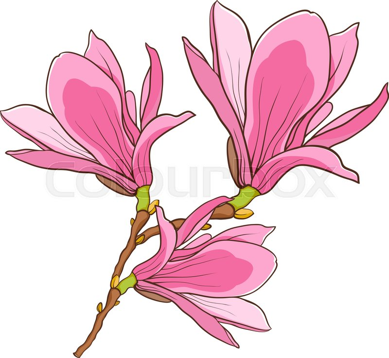 800x737 Blossom Branch Of Pink Magnolia. Stock Vector Colourbox