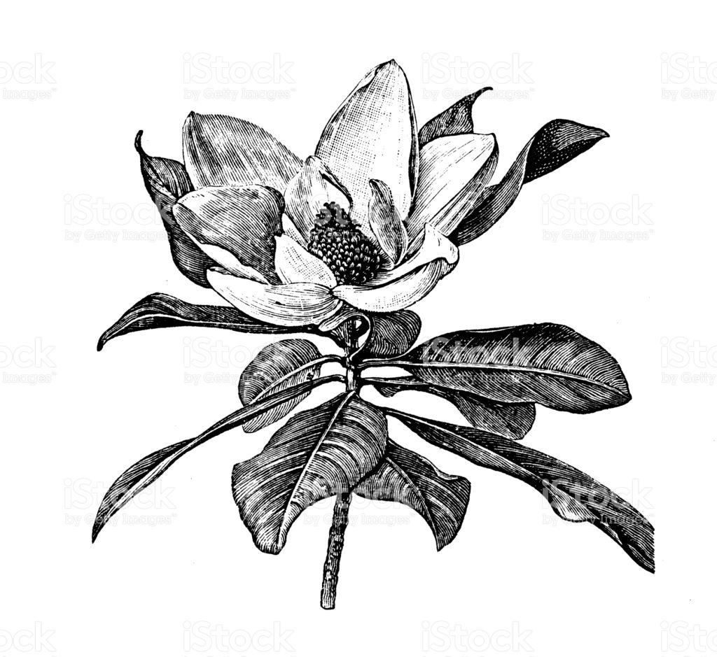 Magnolia Vector Art