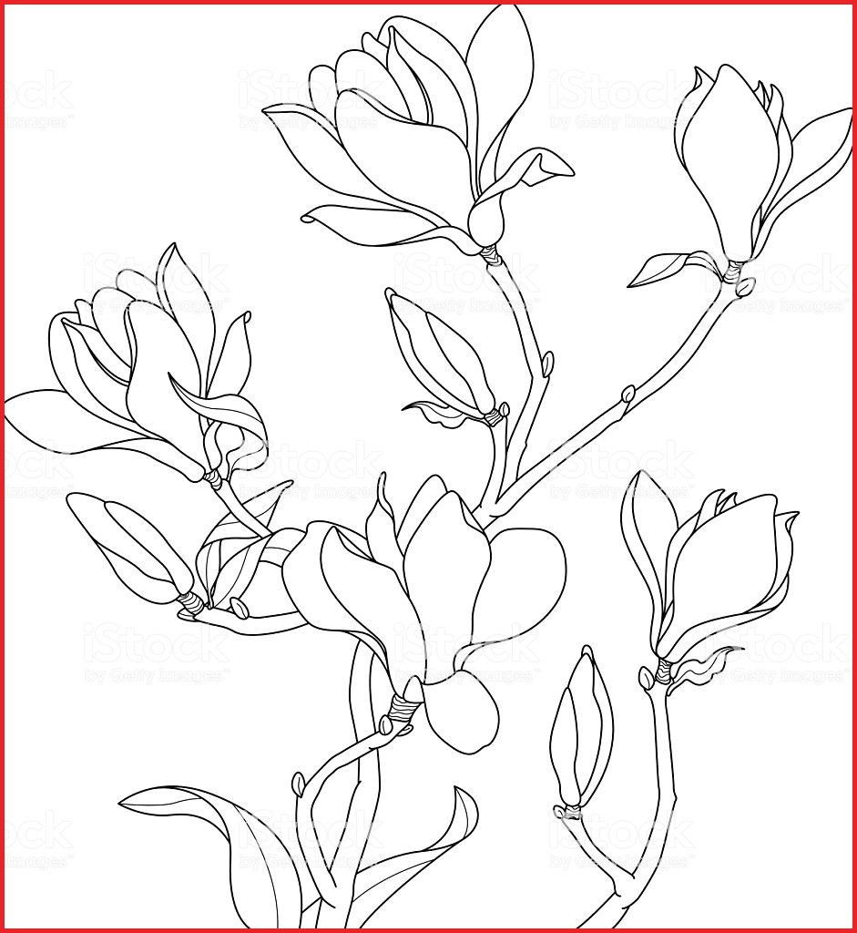 941x1024 Magnolia Flower Drawing 159991 Magnolia Blossoms Drawing Stock