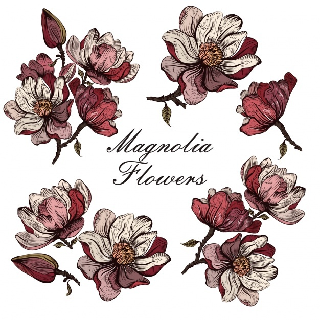 626x626 Magnolia Vectors, Photos And Psd Files Free Download