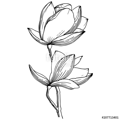 500x500 Magnolia In A Vector Style Isolated. Full Name Of The Plant