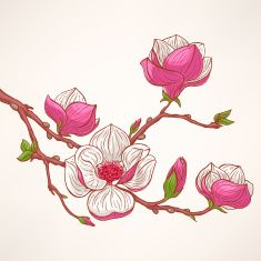 235x235 Pink Blooming Magnolia Vector Art Illustration Duvara