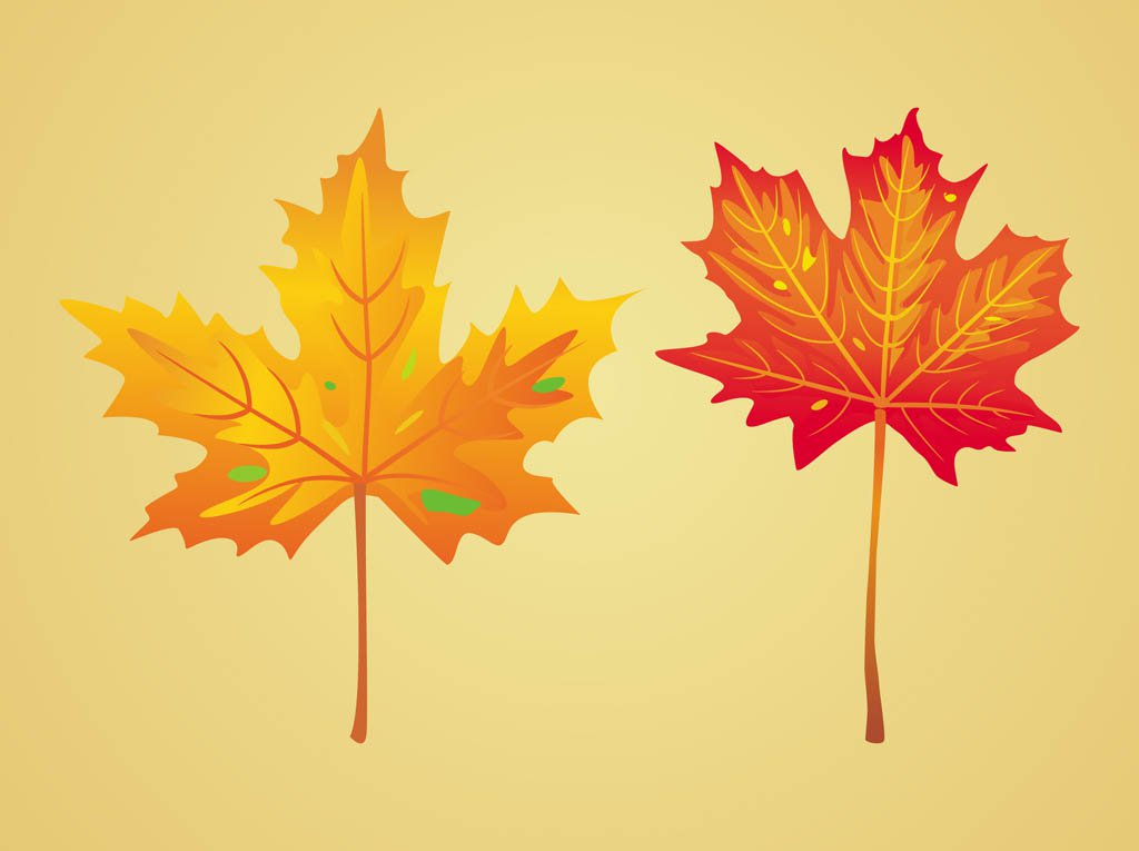 1024x765 Maple Autumn Leaves Vector Art Amp Graphics