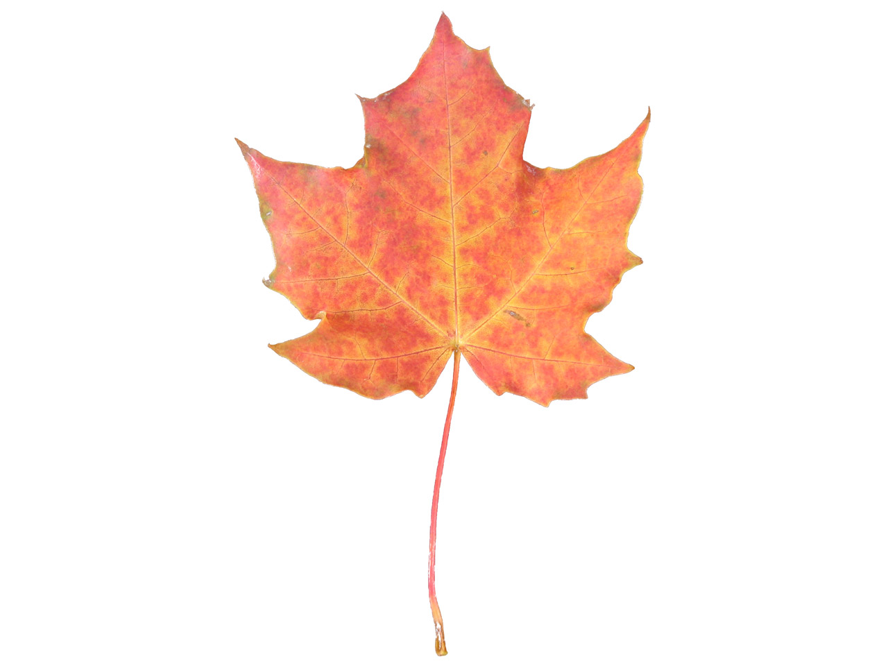 1280x960 Maple Leaf Vector 5071071
