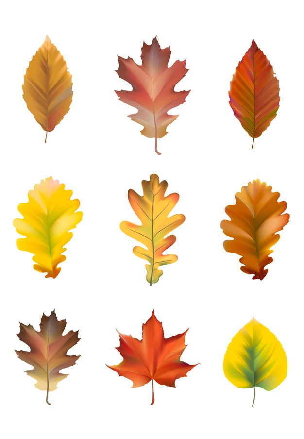 626x904 Maple Leaf Vectors, Photos And Psd Files Free Download