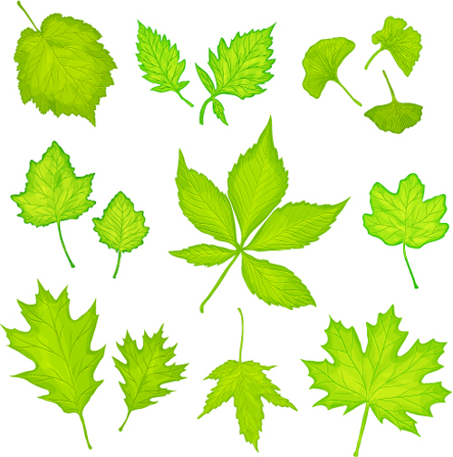 500x504 Maple Leaves And Ginkgo Leaves Vector Free Download