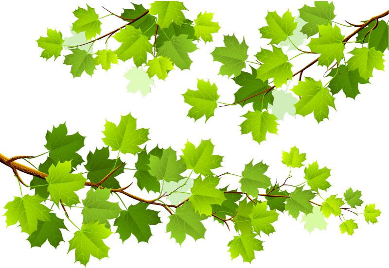 800x552 Green Maple Tree Branch Vector [Ai]