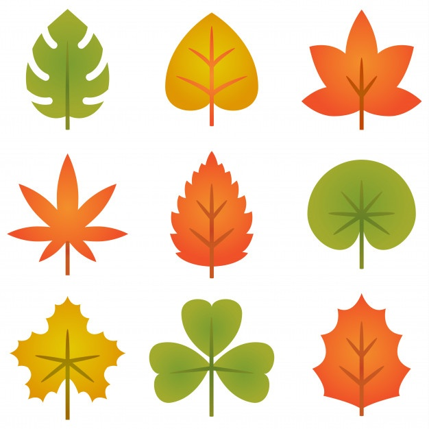 626x626 Maple Leaf Vectors, Photos And Psd Files Free Download