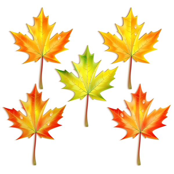 600x600 5 Kind Maple Leaves Vector Illustration Free Download