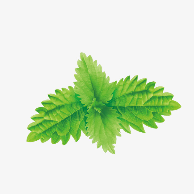 650x651 Vector Green Mint Leaves, Green Vector, Mint Leaf, Green Png And