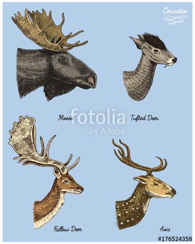 400x500 Moose Or Eurasian Elk, Tufted Deer, Roe Or Doe, Axis Vector Hand