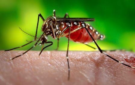 448x282 Mosquito Vector Of Disease