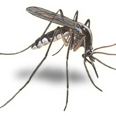 400x400 Cc Mosquito Amp Vector (@ccmosquito) Twitter