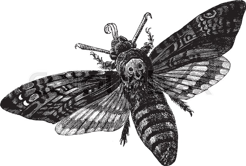 800x539 Death Head Moth Which Is Feeds On Potato, Vintage Line Drawing Or