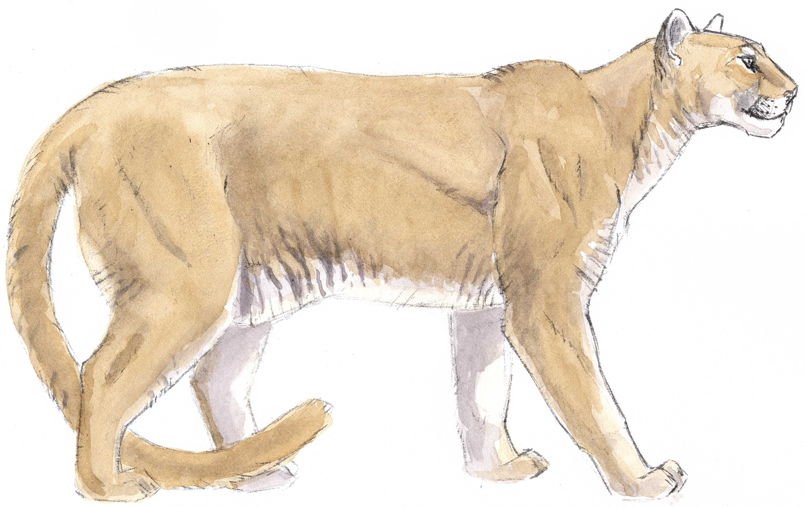 3200x2014 Mountain Lion Clipart Vector