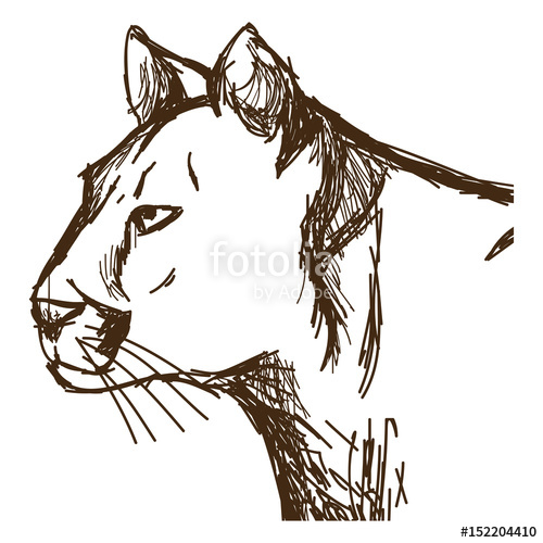 500x500 Hand Drawn Cougar Or Mountain Lion. Portrait Animal Sketch