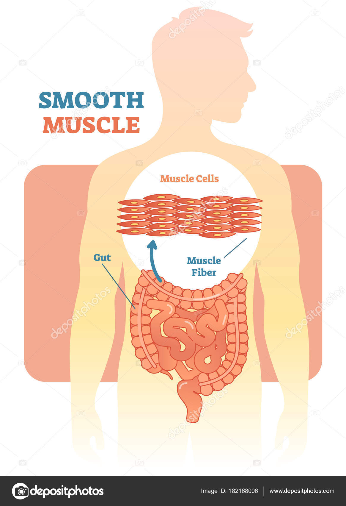 1164x1700 How Many Smooth Muscles Are In The Human Body Smooth Muscle Vector