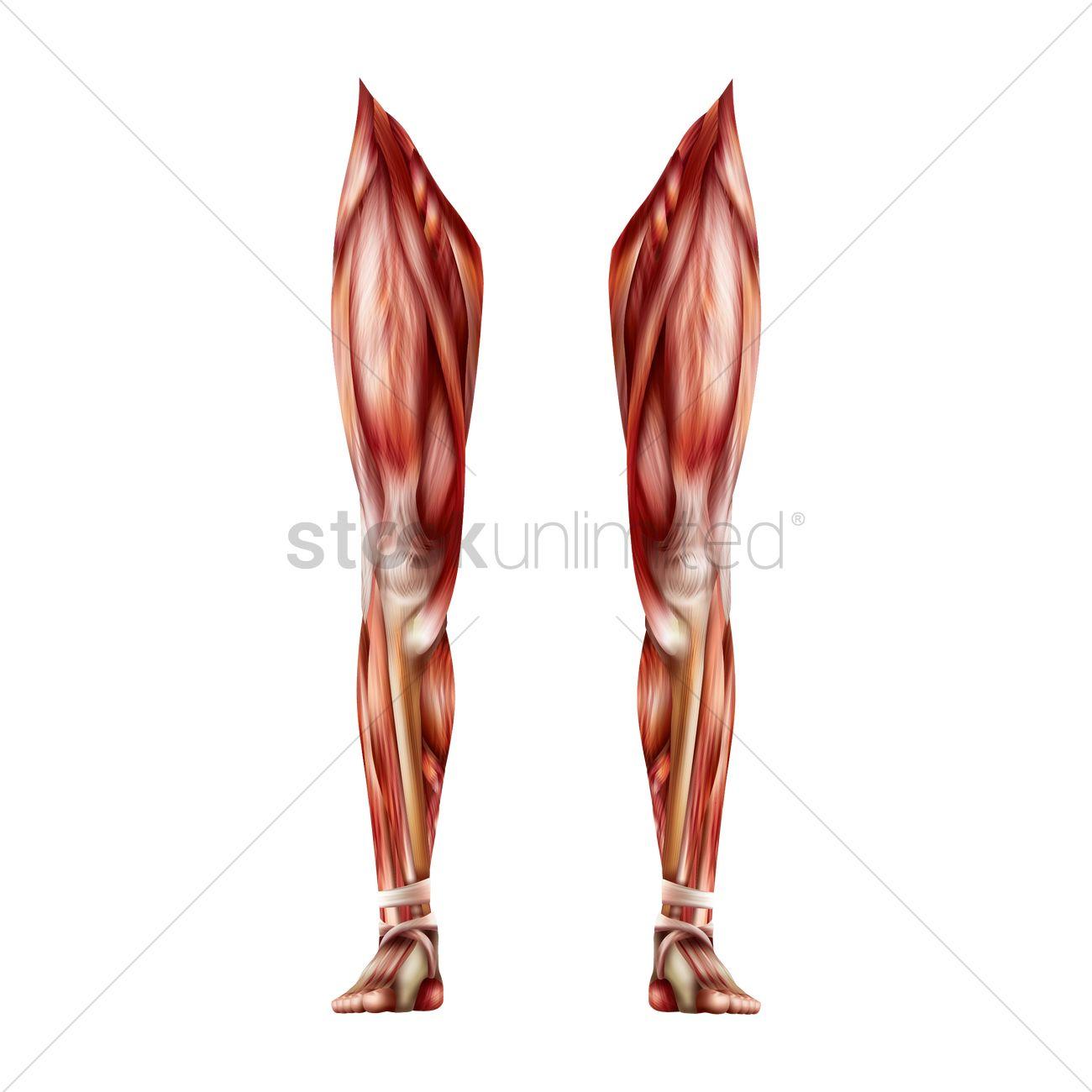 1300x1300 Leg Muscles Vector Image