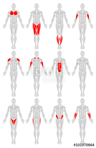 325x500 Muscle Groups A Vector Diagram Of The Major Muscles Found In The