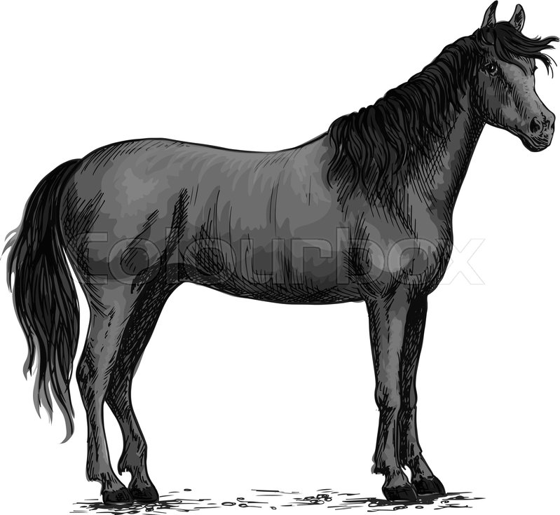 799x735 Horse Vector Sketch. Black Wild Mustang Standing On Ground. Farm