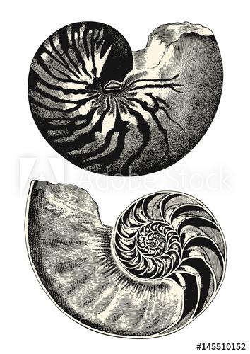 354x500 Vintage Animal Engraving Drawing Nautilus