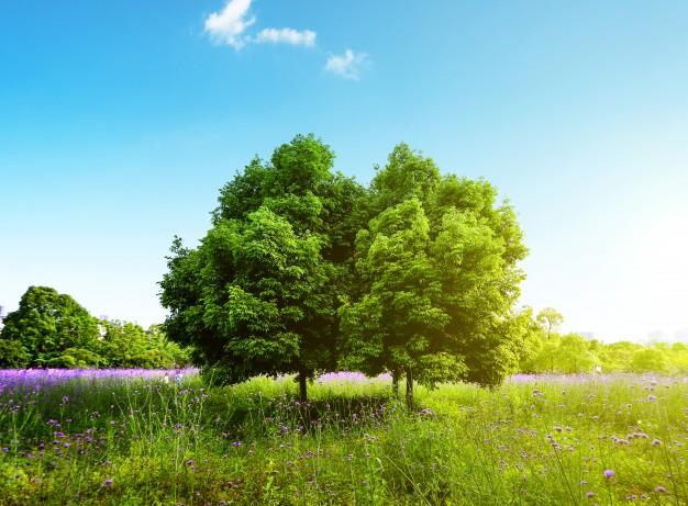 626x461 Oak Tree Vectors, Photos And Psd Files Free Download