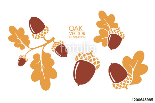 500x333 Oak. Branch. Isolated Acorns On White Background. Vector