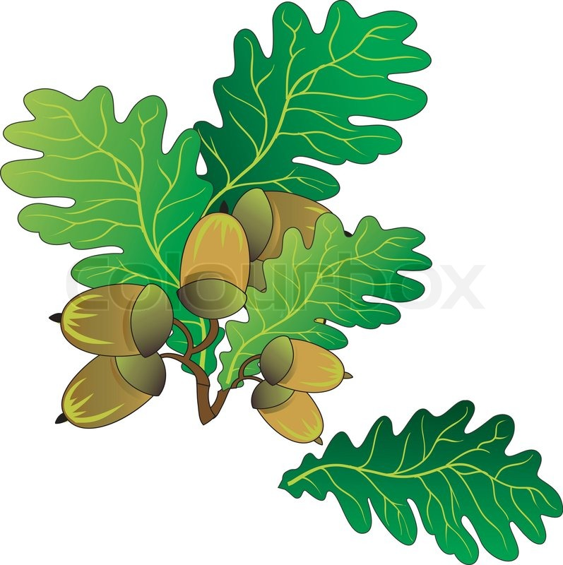 797x800 Branch Of Oak With Green Leaves And Ripe Acorns, Vector An