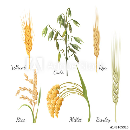 500x500 Barley, Wheat, Rye, Rice, Millet And Green Oat. Vector