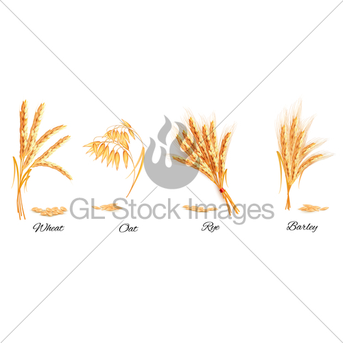 500x500 Ears Of Wheat, Oat, Rye And Barley. Vector Illustration. Gl