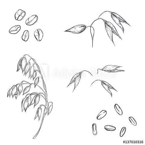 500x500 Hand Drawn Set Of Oats, Oatmeal, Oat Grain. Sketch. Vector Eps 8