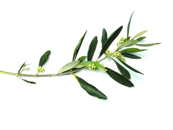 600x450 Olive Branch Image