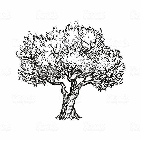 474x474 Olive Tree Vector Free Download. Olive Tree Vector Illustration