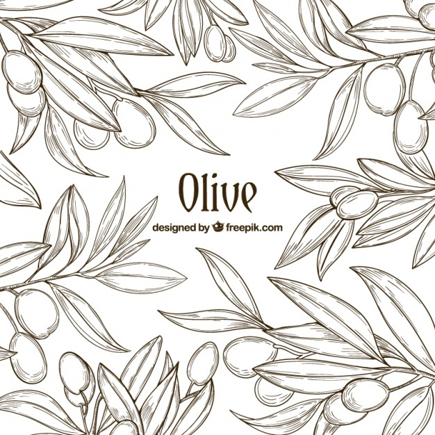 626x626 Olive Tree Vectors, Photos And Psd Files Free Download