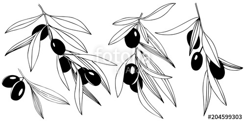 500x250 Olive Tree In A Vector Style Isolated. Full Name Of The Plant