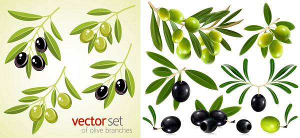 600x276 Chinese Olive Vector Biology Free Vector Download