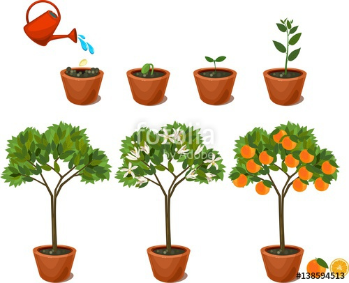 500x406 Plant Growing From Seed To Orange Tree. Life Cycle Plant Stock
