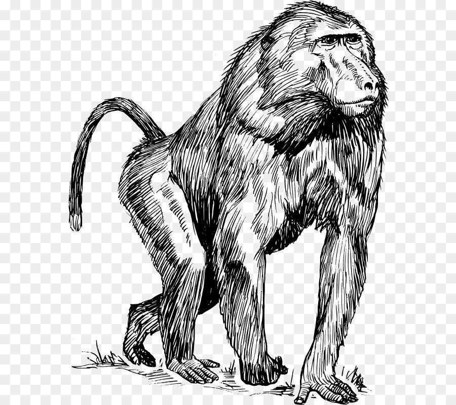 900x800 Mandrill Ape Primate Drawing Clip Art