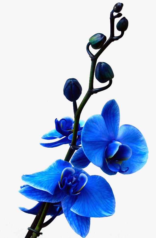 636x969 A Blue Flower,petal,flower Bones,flowers,huji Flower Vector