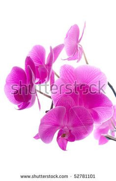 236x368 Orchid Clipart Beautiful Naturalistic Beautiful Colorful Pink