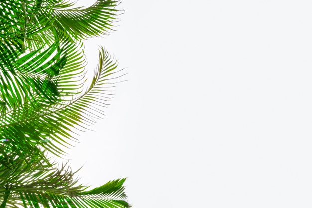 626x417 Palm Leaf Vectors, Photos And Psd Files Free Download