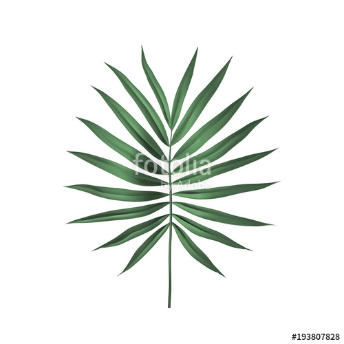 500x500 Tropical Palm Leaf Isolated On White Background. Palm Frond Vector