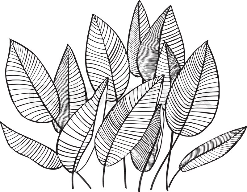 800x623 Tropical Palm Leaves. Vector Illustration. Engraved Jungle Leaves