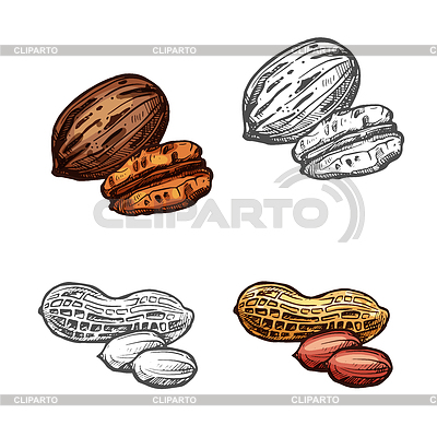 400x400 Nut And Bean Sketch Of Peanut And Pecan Stock Vector Graphics