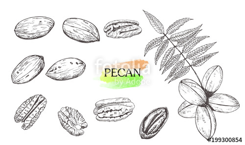 500x295 Hand Drawn Pecan Nut Set Isolated On White Background. Stock