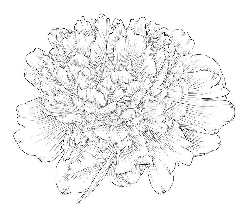 800x706 Beautiful Monochrome Black And White Peony Flower Isolated On