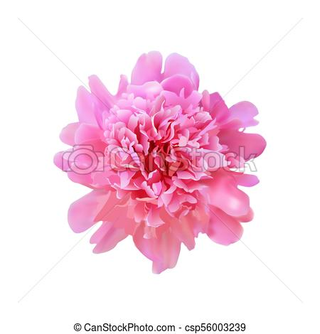 450x470 Realistic Peony Flower. Vector Realistic Big Full Blooming Pink