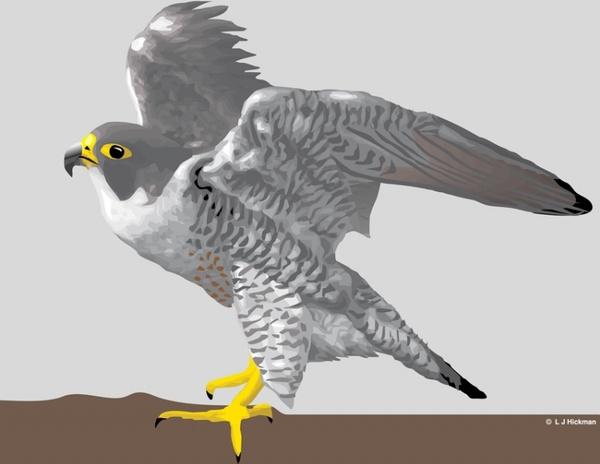 600x464 Falcon Free Vector In Adobe Illustrator Ai ( .ai ) Vector