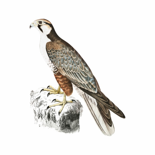 626x626 Falcon Vectors, Photos And Psd Files Free Download
